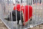 """""""头猪""""12.5万! 登封黑猪养殖将带动贫困户脱贫"""