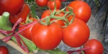 2017年中国出口番茄酱情况分析