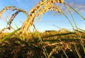 2018年国家继续在稻谷主产区实行最低收购价政策