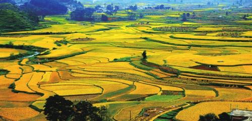 """安顺市普定县""""一村一公司""""扶贫模式——焦家村优质米种植基地。"""