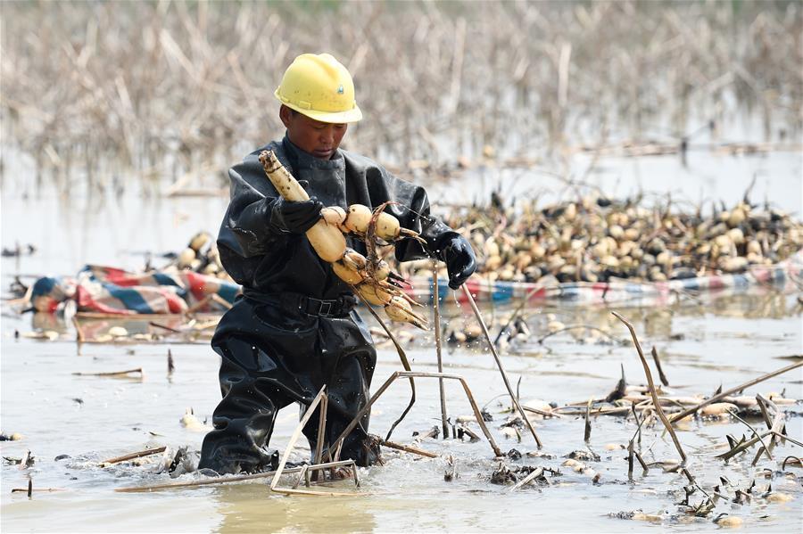 江苏宿迁:浅水藕套养小龙虾---精准扶贫的特色产业