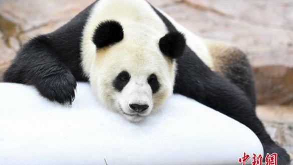 """汶川大熊猫""""婷婷""""成功配对 静待二胎佳音"""