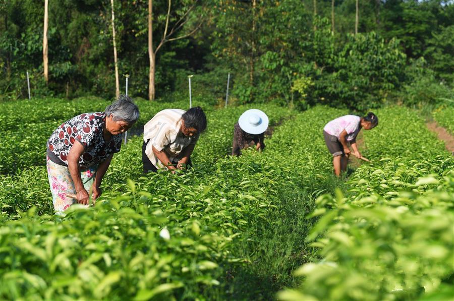 重庆铜梁:果苗产业促进农民增收致富