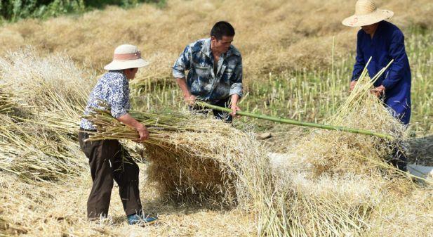 杭州富阳:抢收油菜籽,确保颗粒归仓