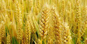 市场供应偏大 淄博临淄小麦价格持续回落