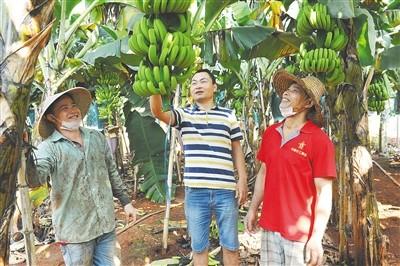 《中国香蕉产业发展报告》在海南澄迈发布