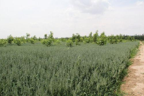 九洋杂粮燕麦农产品基地