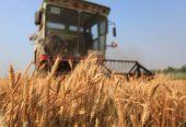 深化农业供给侧结构性改革:夏粮生产绿色优质亮点多