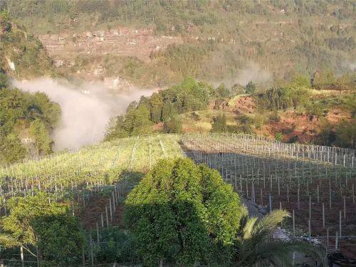5、易地扶贫搬迁产业帮扶之猕猴桃种植基地建设,目前,马边县猕猴桃基地建设已达万亩。