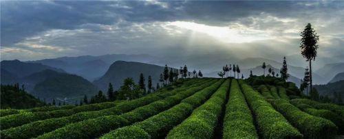 2、茶叶村现代茶业产业化初具雏形