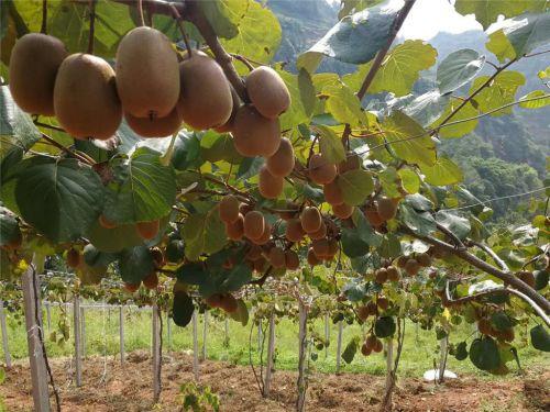 6、易地扶贫搬迁产业帮扶之猕猴桃种植基地建设,目前,马边县猕猴桃基地建设已达万亩。