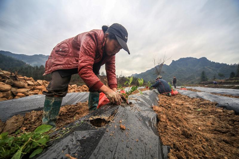 湖南湘西:特色产业助脱贫