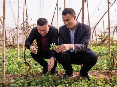 右图:夏凤阳正在和鼎恒种植开发有限公司的总经理马正剑一起查看香菜的长势。