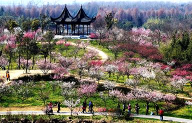 今年上海奉贤海湾国家森林公园在2000亩梅园、126个品种、40000株梅花的基础上,还为市民游客打