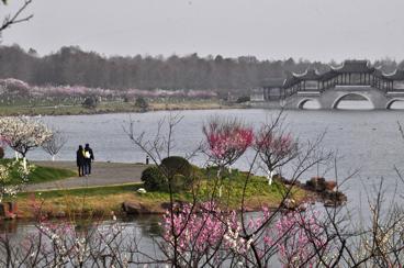 在上海奉贤海湾国家森林公园,一枝枝梅花悄然盛开。图由奉贤区新闻办提供