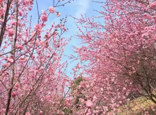 """3月8日-10日 姓名带""""梅""""字免费游奉贤梅花节"""