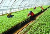 """云南祥云县做大蔬菜产业打造""""绿色食品牌"""""""