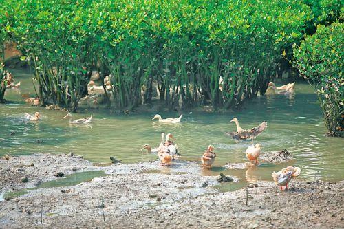 跑海鸭在红树林里觅食。