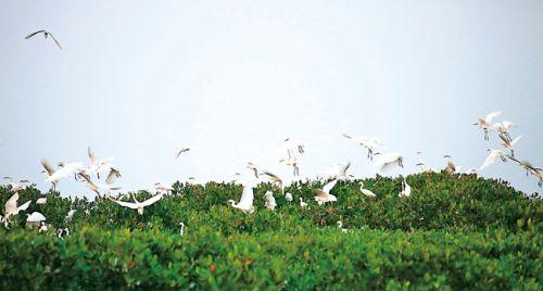 一群群白鹭飞回红树林栖息。