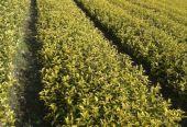 中国农业植物新品种权年申请量居世界第一