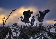 陕西洛南:周湾苍鹭千姿百态