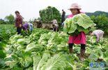 陕西:太白山下种蔬菜 质优价高不愁卖