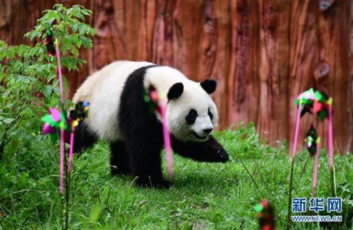 """(社会)(1)大熊猫""""初心""""迎来3岁生日"""