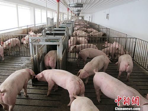 资料图:生猪养殖场。 <a target='_blank' href='http://www.chinanews.com/'>中新社</a>记者 林浩 摄