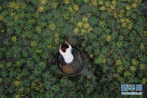 (社会)(1) 浙江湖州:秋风起 采菱忙
