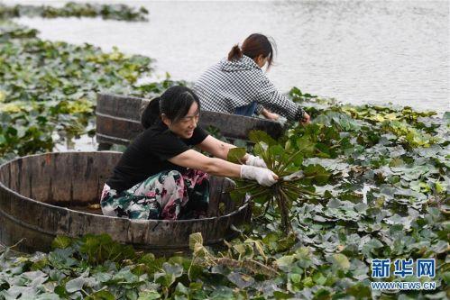 (社会)(2) 浙江湖州:秋风起 采菱忙