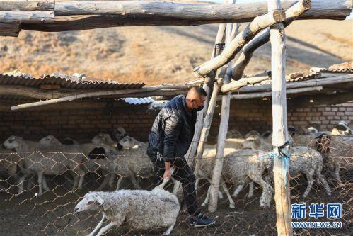 (社会)(2)牧区羊出栏忙