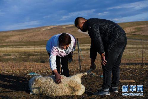 (社会)(5)牧区羊出栏忙