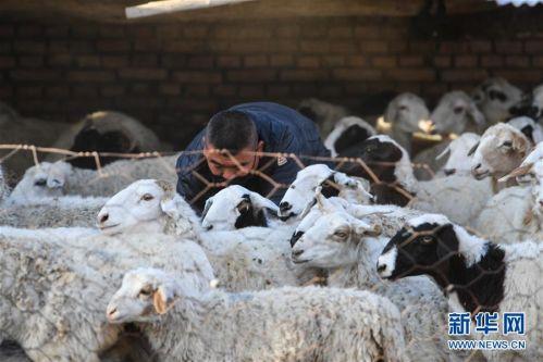 (社会)(6)牧区羊出栏忙