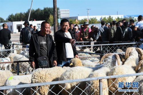 (社会)(1)牧区羊出栏忙