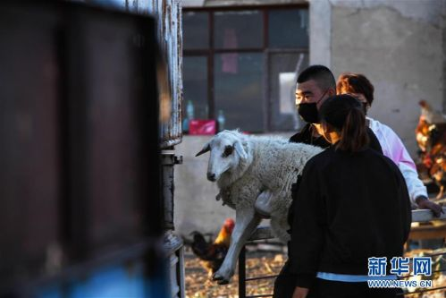 (社会)(3)牧区羊出栏忙
