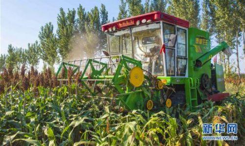 10月7日,在枣强县肖张镇西赵庄村,村民使用收割机收割高粱。