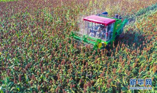 10月7日,在枣强县肖张镇西赵庄村,村民使用收割机收割高粱(无人机拍摄)。