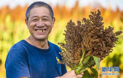 10月7日,在枣强县肖张镇西赵庄村,村民展示收获的高粱。
