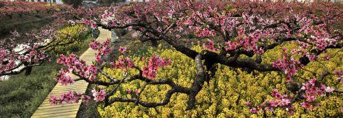 芳华竞吐桃花节。