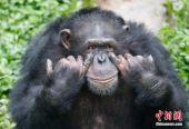猩猩蹲在地上娴熟抽烟走红网络 结果归咎于谁?