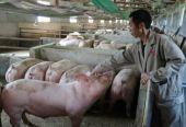 農業農村部:全國生豬生產進入止降回升轉折期