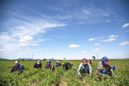满族大娘在种植原白小米的旱地间人工除草作业