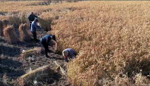 满族老农收割稻米