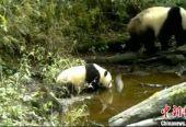 四川宝兴:保护区红外相机拍到野生大熊猫母子同框