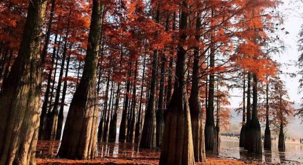 南京六合大泉湖池杉林 半山苍翠半山红