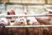 财政部:持续加大生猪稳产保供支持力度 中央财政资金已下达