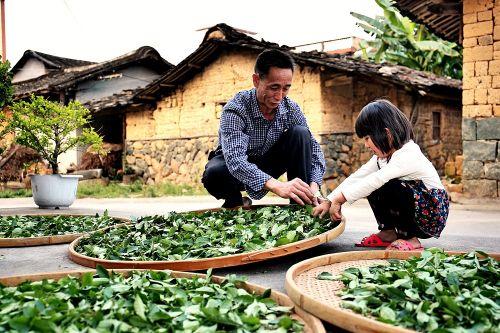 ▲安溪当地茶农正在进行铁观音制茶的第一步——晒青。(安溪县供图)