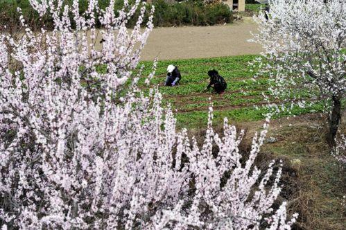 图为3月17日,宕昌县城关镇玉地河村群众正在给白菜田里拔草。刘辉 摄