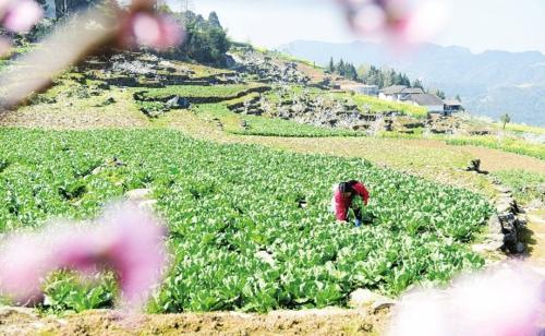 在恩施三贫镇阳天坪村,村民正在田间采收蔬菜。童秀清/供图