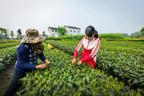 四川乡村振兴,打造五星级园区的雅安名山茶产业